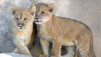 denver_zoo_COVER_lion_cubs1